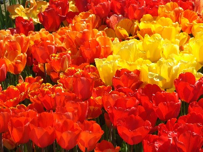 Bright sunshine gives tulips a transparent quality, but the tulip festivals can be fun in the rain too!