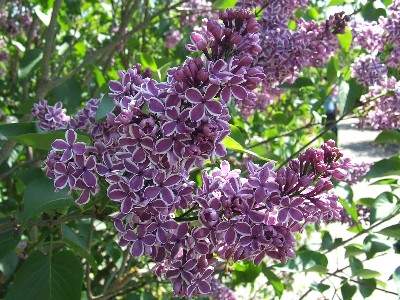 I love lilacs! There are so many different varieties!